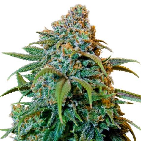 45998-cannabis