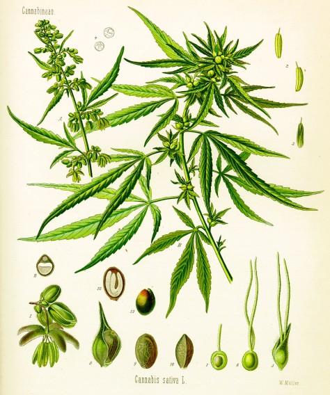 Cannabis_sativa_Koehler